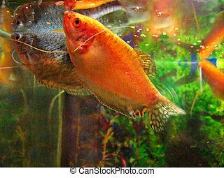 Gurami Aquarium Fish