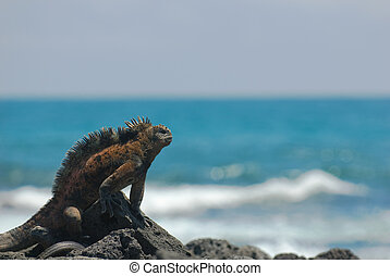 marine iguana on the rocks, galapagos islands, ecuador