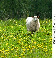 mouton, pissenlit, champ