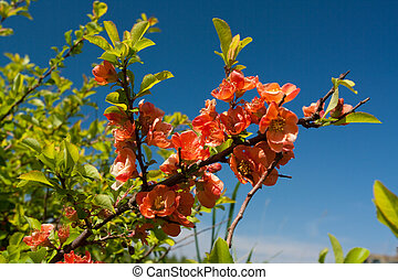 Quince flowers in nature