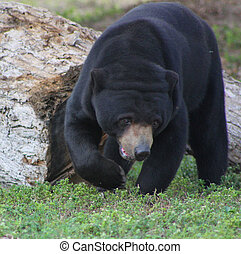 large black Malaysian bear - large black walking Malaysian...