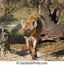 spotted hyena - walking spotted hyena