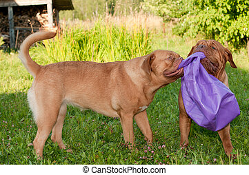 Two cheerful dog of French Mastiff (Dogue De Bordeaux) breed...