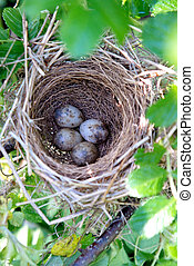 Austerlitz nest with eggs - Songbirds - Austerlitz - nest...