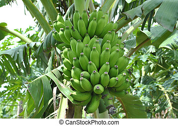Banana - A tree like the plantain bearing finger - shaped...