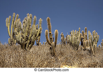 Cactuses in desert - Cactuses in wild mountainous desert