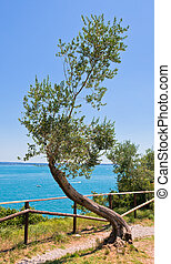 old curve olive tree on sea and sky background
