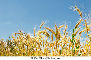 Wheat field and blue sky - Wheat field