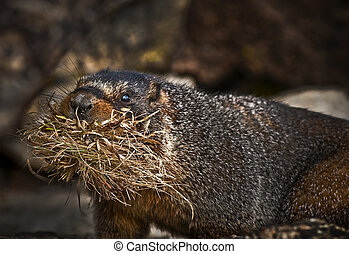 Marmot holding straw in its mouth - taken in Rocky Mountains...
