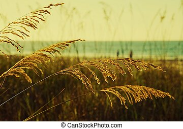 Golden Sea Oats - Golden sea outs at Myrtle Beach, South...