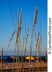 Sea oats overlooking the ocean - colorful photo of sea oats...