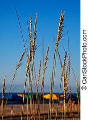 Sea oats overlooking the ocean