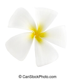 Frangipani - White frangipani isolated on white background