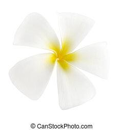Frangipani - White frangipani isolated on white background