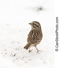 White-crowned Sparrow on ground with snow