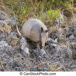 Armadillo on sandy ground