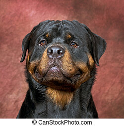 Rottweiler portrait with red background