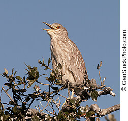 Black-crowned Night Heron - Young Black-crowned Night Heron...
