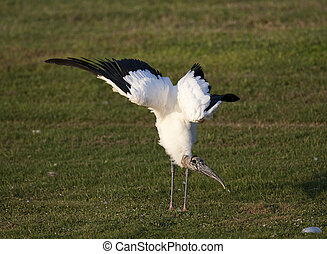 Wood Stork - Endangered Wood Stork stretching wings on green...