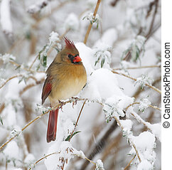 Northern Cardinal - Female Northern Cardinal on branch with...