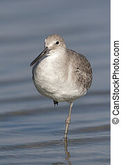 Eastern Willet in shallow water at beach