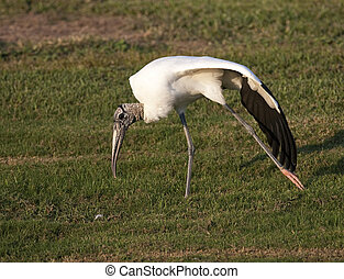 Wood Stork - Endangered Wood Stork stretching wing on green...