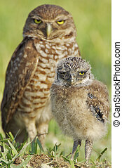 Burrowing Owls - Two Burrowing Owls on ground, mother or...