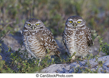 Burrowing Owl - Two Burrowing Owls on ground next to nest...