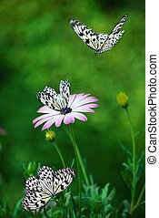 African Daisy with butterflies. - African Daisy and black...