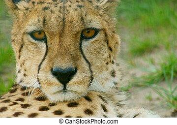 Cheetah (Acinonyx jubatus) looking - Cheetah Portrait,...