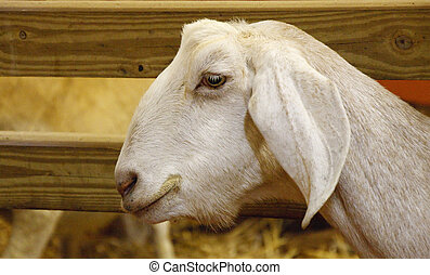 White Goat Head - A white goat by a wood board fence