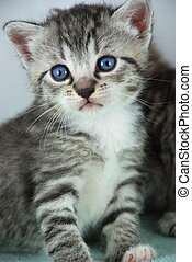 gray tiger kitten - closeup of an adorable gray tigertabby...
