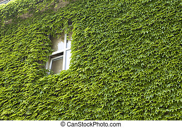 Ivy wall-mounted - Green ivy on old stone wall