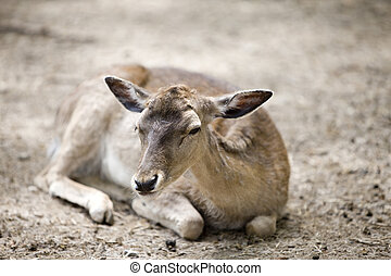 Reindeer fawn - Baby of deer lays and looks on us