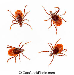 Ticks isolated over white background Tick is the common name...