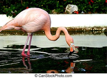 Pink flamengo drinking from pond.