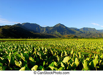 Taro field in Kauai Hawaii - Taro field in the Hanalei...