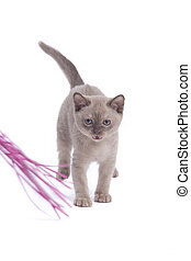 mew - pretty little Burmese breed cat of pale...