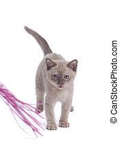 mew - pretty little Burmese breed cat of pale...