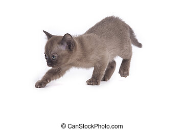 step by step - pretty little Burmese breed cat of pale...