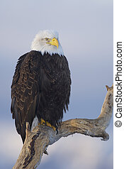 Alaskan Bald Eagle on stick with blue sky background