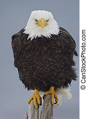 Alaskan Bald Eagle on log