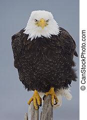 Alaskan Bald Eagle on log