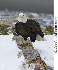 Alaskan Bald Eagle on log with snow
