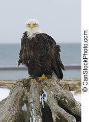 Alaskan Bald Eagle on stump on beach
