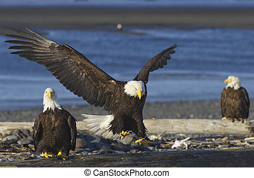 Alaskan Bald Eagle landing on beach