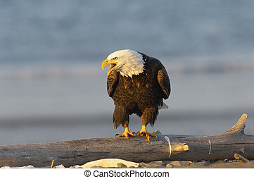 Alaskan Bald Eagle calling on beach