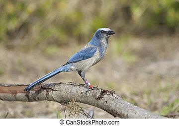 Scrub Jay - Endangered Scrub Jay on log