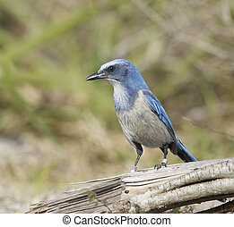 Endangered Scrub Jay on stick