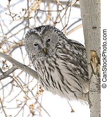 Ural Owl - Peek-a-Boo Ural Owl in Popular Tree